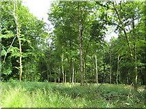 SU2268 : Savernake Forest by Nigel Cox