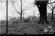 TQ2883 : Wolves in London Zoo by Dr Neil Clifton
