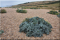 SY5088 : Sea kale (Crambe maritima) on Cogden Beach by Bob Jones