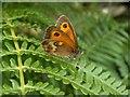 SK0494 : Gatekeeper Butterfly by John Fielding