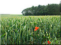 NU0427 : Wheatfield with poppies by Stephen Craven