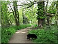 SP9113 : A Horse Chestnut Tree on the Footpath beside Tringford Reservoir by Chris Reynolds
