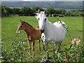 G8656 : Horses, Derryherk by Kenneth  Allen