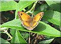 TA0322 : Gatekeeper or Hedge Brown on Buddleia Bush by David Wright