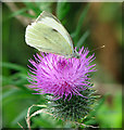 TG2901 : Green-veined White Butterfly (Pieris napi) on thistle flower by Evelyn Simak