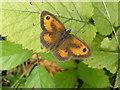 SX8884 : 'Gatekeeper' butterfly, Haldon Plantation by Roger Cornfoot
