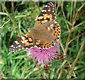 SE9918 : Painted Lady (Vanessa cardui) on Knapweed by David Wright