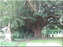 TQ3632 : Yew tree in St Margarets churchyard by Dave Spicer