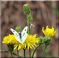 TG3203 : Large White Butterfly (Pieris brassicae) by Evelyn Simak