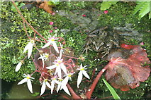 SJ3999 : Common Frog (Rana temporaria), Melling by Mike Pennington