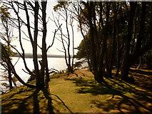 SZ0287 : Brownsea Island: clifftop trees by Chris Downer