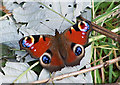 NG6225 : Peacock butterfly by Richard Dorrell
