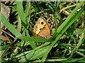 SM7428 : Small heath butterfly at rest by ceridwen
