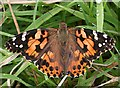 NO7048 : Painted Lady (Cynthia cardui) by Anne Burgess