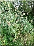 SU1091 : Teasels near Purton Stoke by Maigheach-gheal
