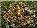 NS3977 : Cyanobacteria - Nostoc commune by Lairich Rig