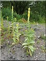NS3977 : Great Mullein (Verbascum thapsus) by Lairich Rig