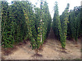 TQ8129 : Hop Garden, Hoad's Farm - August by Oast House Archive