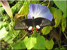TQ9534 : Butterfly at Rare Breeds Centre, Woodchurch by Oast House Archive