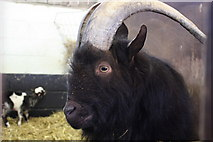 TQ9534 : Goat at Rare Breeds Centre, Woodchurch by Oast House Archive