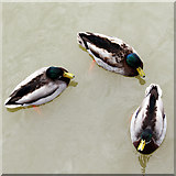 TQ7825 : Ducks on Bodiam Castle Moat by Oast House Archive