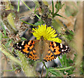 TG4705 : Painted Lady butterfly (Vanessa cardui) by Evelyn Simak