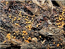 NS3977 : A slime mould - Metatrichia floriformis by Lairich Rig