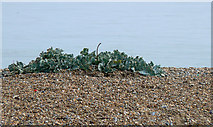 TR3752 : Seakale on shingle beach, Deal by John Rostron