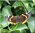 TL6781 : A Red Admiral (Vanessa atalanta) by Evelyn Simak