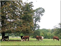 TQ1352 : A group of bullocks on the Poulsden Estate by Chris Reynolds