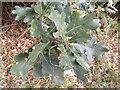 TG0524 : Oak Leaves on Reepham Road by Adrian Cable