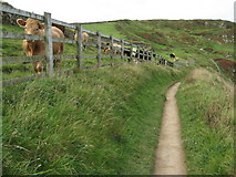 SW9780 : Cattle above Derngate Cove by Philip Halling