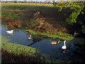 TQ9428 : Swans near the Ferry Inn by Oast House Archive
