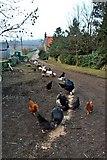 NZ5906 : Feeding Time, Bank Foot farm by Paul Buckingham