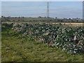 SK6644 : Giant cabbages and maize field by Alan Murray-Rust