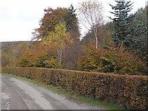 NX8199 : Hazel hedge near Merkland by Oliver Dixon