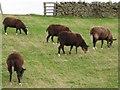 NZ1138 : Zwartbles Sheep by Ian Porter
