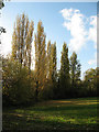 TQ4374 : Poplars at Avery Hill by Stephen Craven