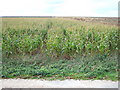 TF6125 : A crop of maize by Richard Humphrey