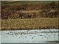 SE4107 : Golden Plover in flight at RSPB Edderthorpe Ings by Steve  Fareham