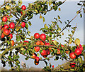 TM2699 : Apples on a tree by Evelyn Simak