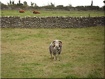 SP2504 : Ram in a field in Kencot by andrew auger