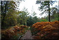 TQ7413 : Autumnal Bracken by the 1066 Country Walk through Fore Wood by N Chadwick