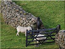 J3246 : Sheep, drystone wall and gate near Drumkeeragh forest by Albert Bridge