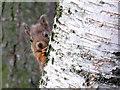 NH9709 : Red Squirrel by sylvia duckworth