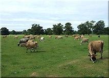 SJ5409 : Cows in Attingham Park by Simon Huguet