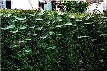 N1336 : Castledaly Manor area - Cobweb covered hedge by Joseph Mischyshyn