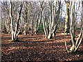 TM1497 : Lower Wood Nature Reserve - coppiced trees by Evelyn Simak