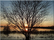 TL4279 : Willow - The Ouse Washes at Sutton Gault by Richard Humphrey