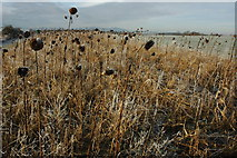 SO8843 : Dead sunflowers by Philip Halling
